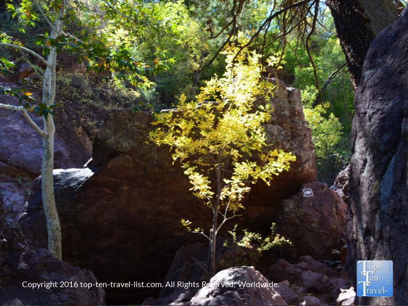 yellow-fall-foliage-along-the-pine-tral-at-tonto-natural-bridge-state-park
