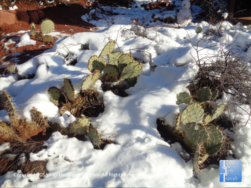 Prickly pear cactuses in the snow in Sedona