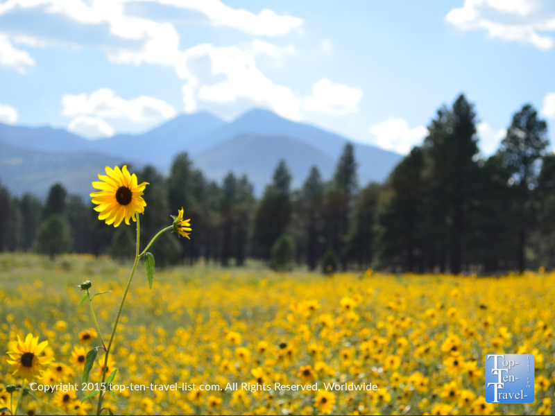 Views of the San Francisco Peaks and spring wildflowers from Bonito Meadow