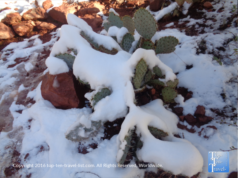 A prickly pear cactus topped with snow in Sedona