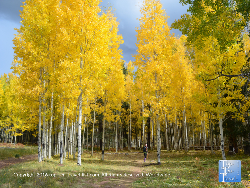 Striking yellow foliage at Aspen Corner in Flagstaff