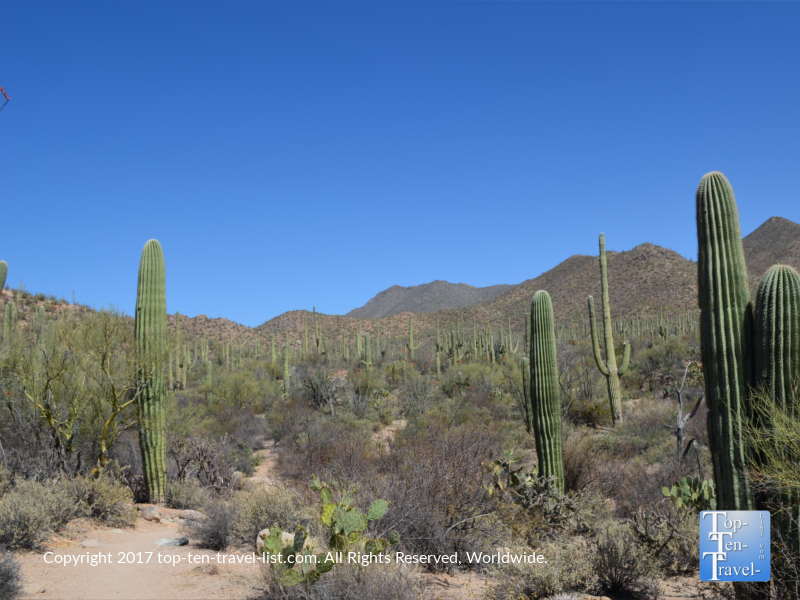 Cacti lined trail at the Saguaro National Park in Tucson AZ