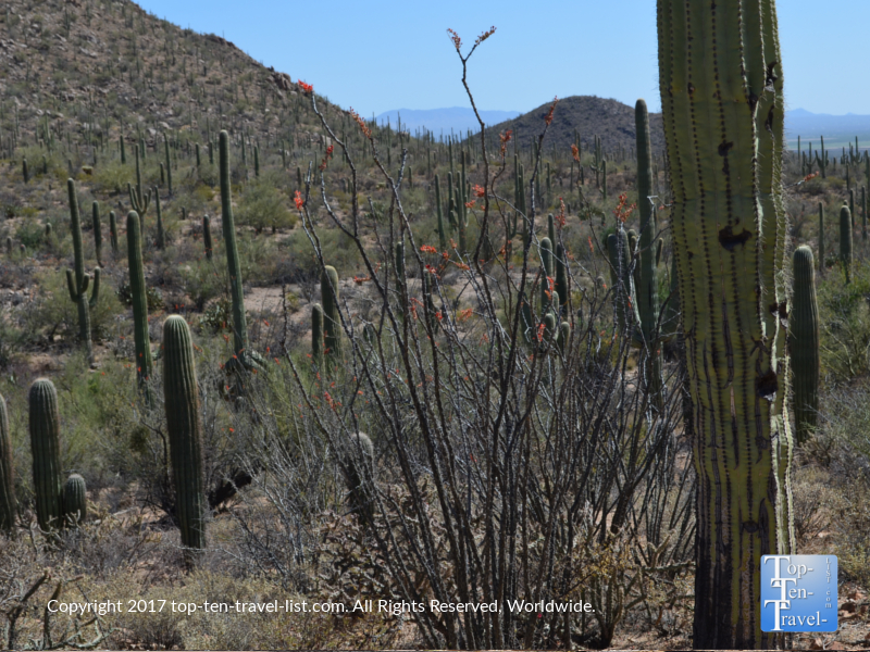 Pretty desert plant life at Saguaro National Park in Tucson AZ
