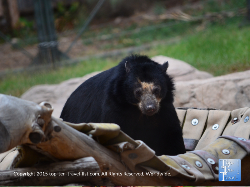 Endangered Andean Bear at The Phoenix Zoo