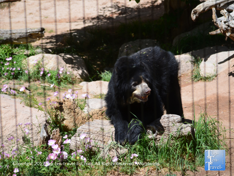 Andean Bear at the Reid Park Zoo in Tucson