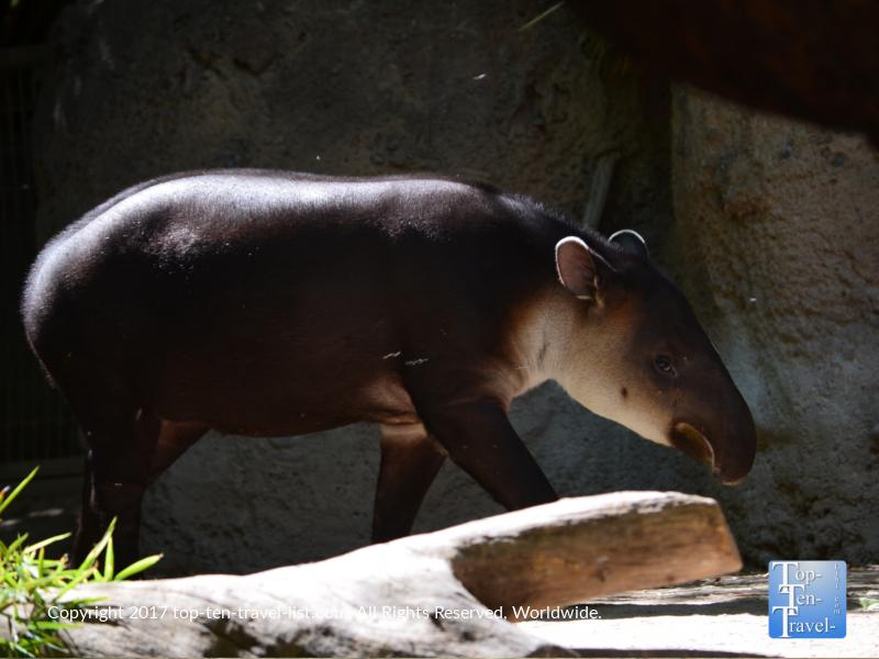 Baird's tapir at Reid Park Zoo in Tucson