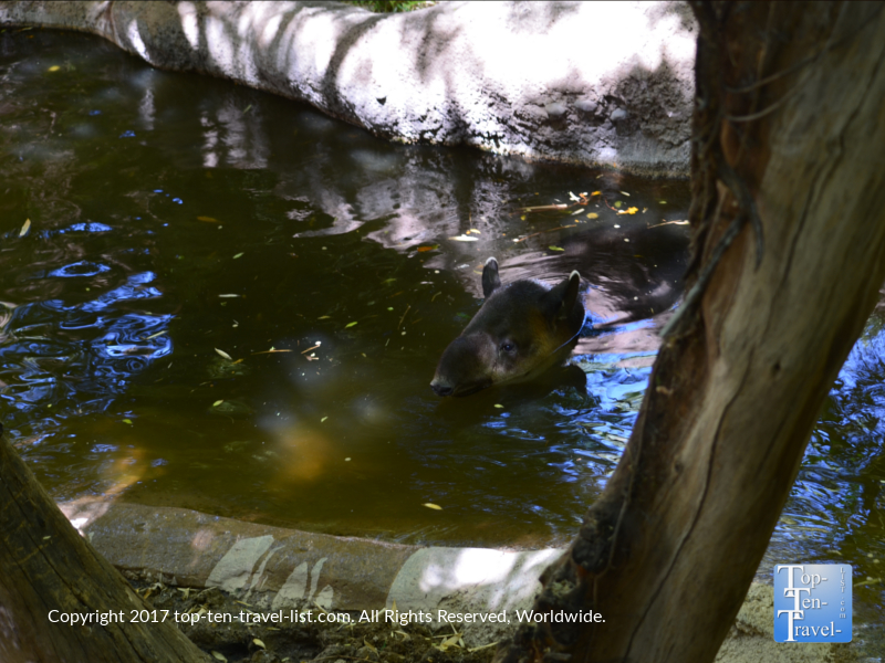 Baird's tapir swimming at the Reid Park Zoo in Tucson