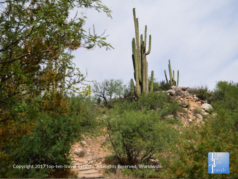Beautiful Saguaro cactus at Catalina State Park in Tucson