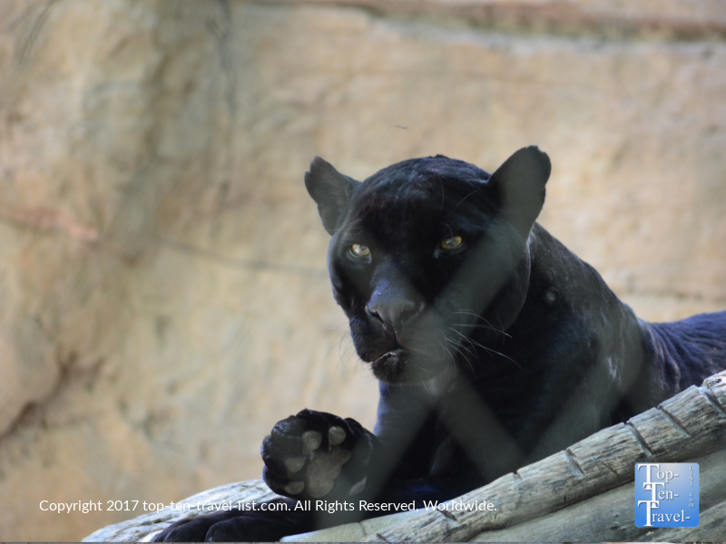 Black Jaguar at Reid Park Zoo in Tucson