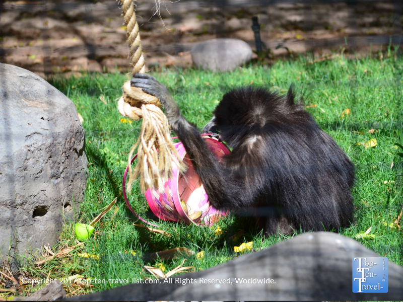 Gibbon enjoying an Easter surprise at the Reid Park Zoo in Tucson