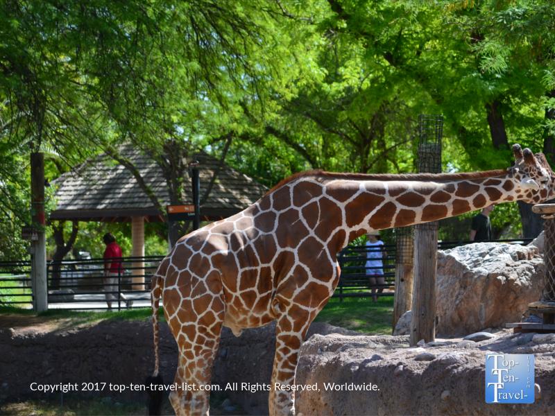 Giraffe at the Reid Park Zoo in Tucson