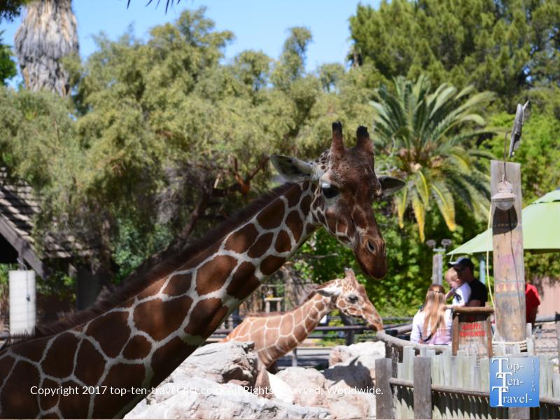 Giraffes at the Reid Park Zoo in Tucson