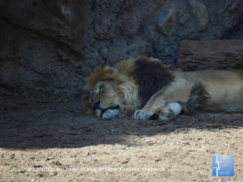 Lion sleeping at the Reid Park Zoo in Tucson