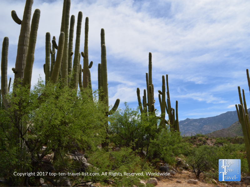 Lots of cacti at Catalina State Park in Tucson