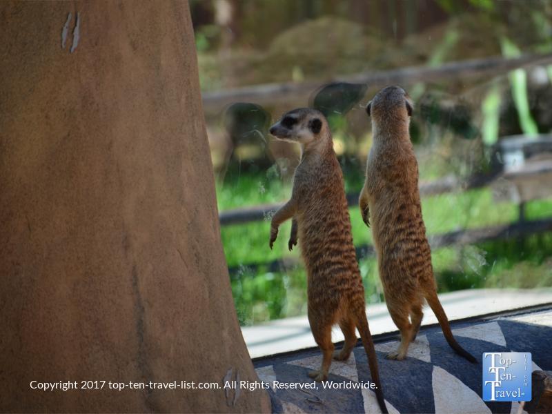 Meerkats at the Reid Park Zoo in Tucson
