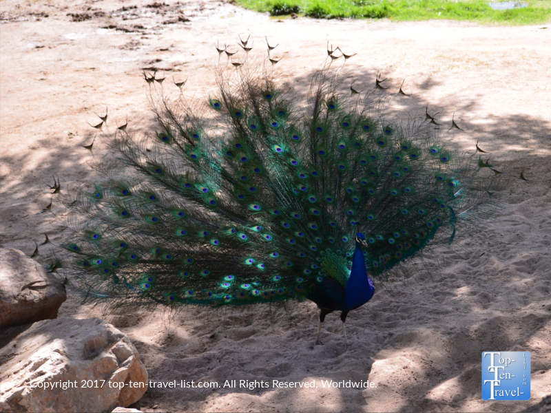 Peacock at the Reid Park Zoo in Tucson
