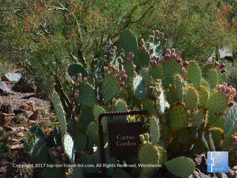 Beautiful blooming cactus at the Desert Sonoran Museum in Tucson