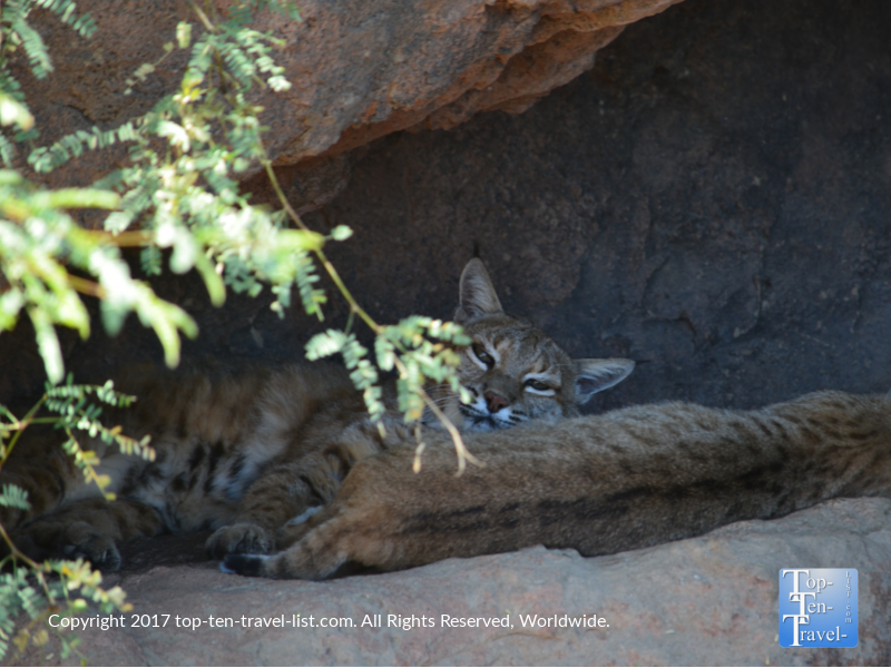 Beautiful bobcats at the Sonoran Desert Museum in Tucson