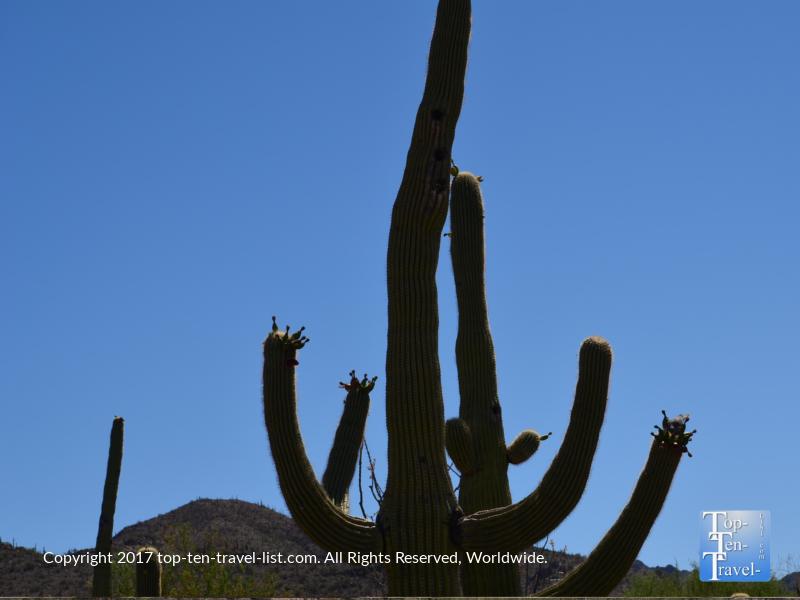 Blooming cactus at the Arizona Sonoran Desert Museum in Tucson