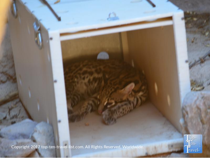 Bobcat relaxing at the Sonoran Desert Museum in Tucson