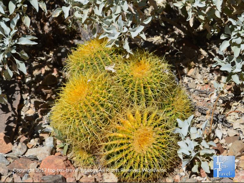Bright yellow cactus at the Arizona Sonoran Museum in Tucson