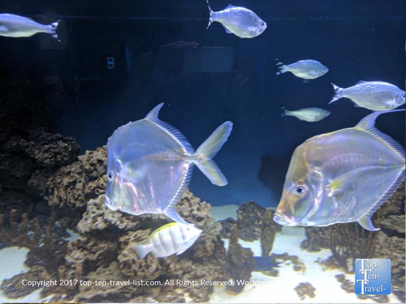 Cool looking translucent fish at the Arizona Sonoran Desert Museum in Tucson