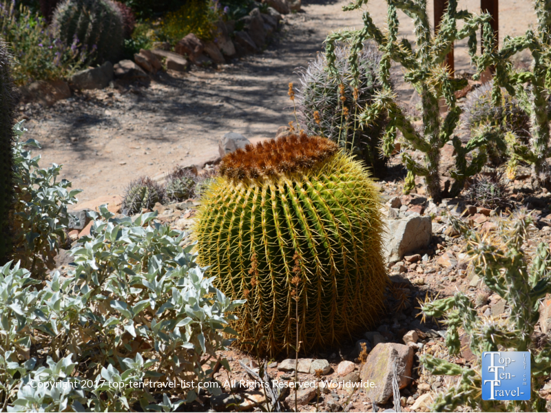 Intersting cactus at the Arizona Sonoran Museum in Tucson
