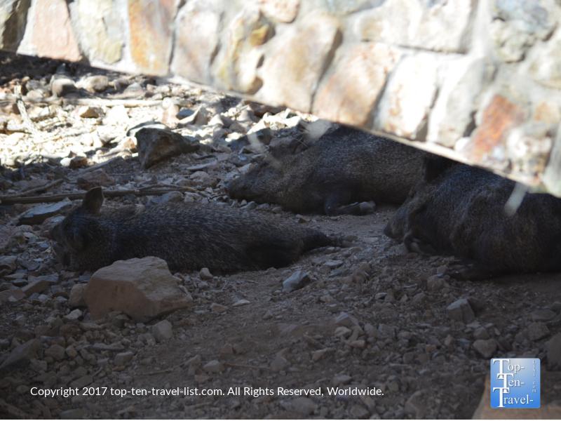 Javelina sleeping at the Arizona Sonoran Museum in Tucson