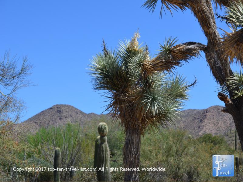 Joshua tree at the Arizona Sonoran Museum in Tucson