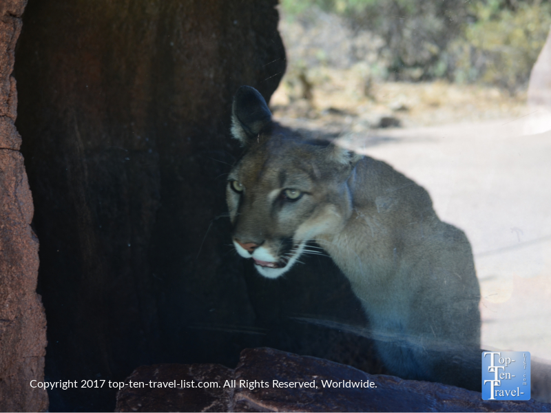 A gorgeous mountain lion at the Arizona Sonoran Desert Museum in Tucson