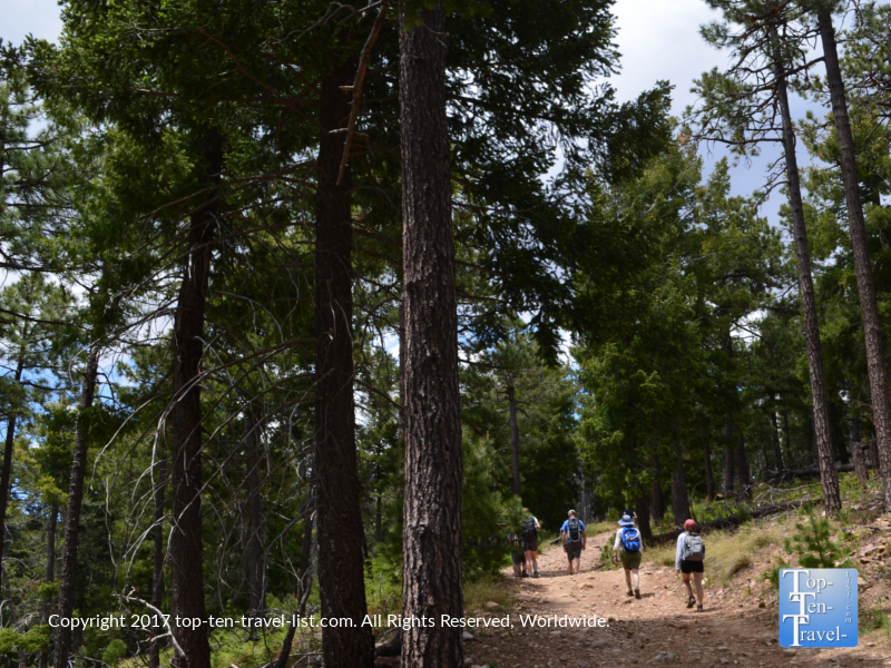 Beautiful pine trees lining the Meadow Trail at Mt Lemmon