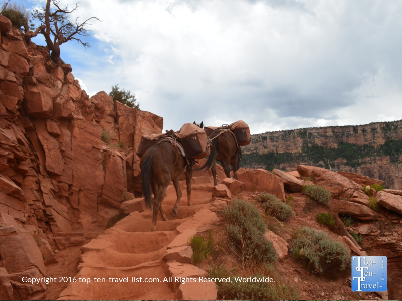 Mule rides along the Kalibab trail at the Grand Canyon