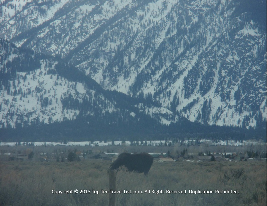 Moose sighting along Gros Ventre Rd in the Grand Tetons