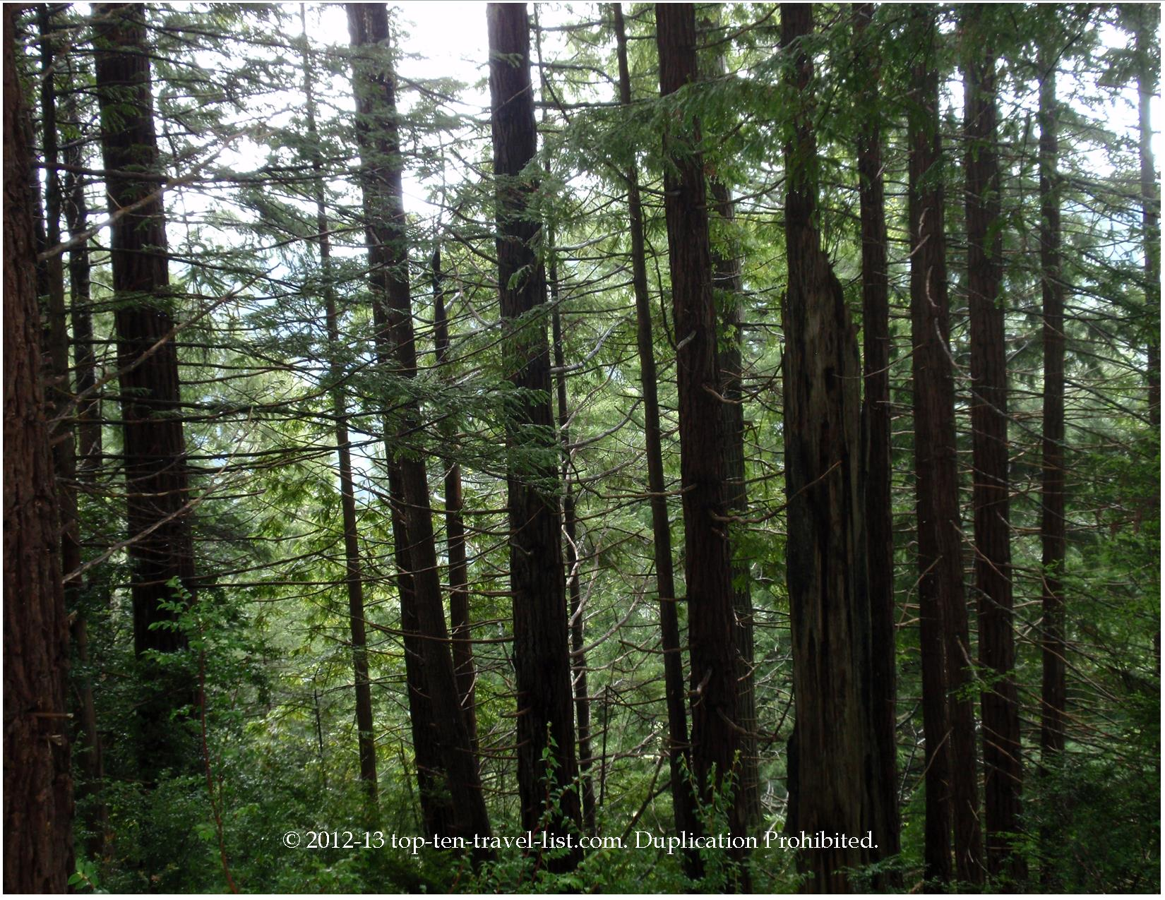 Coastal redwoods of Northern California