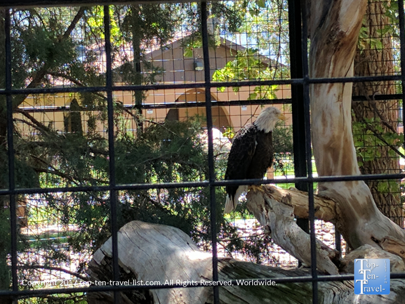 Bald eagle at the Alameda Park Zoo - the oldest in the Southwest