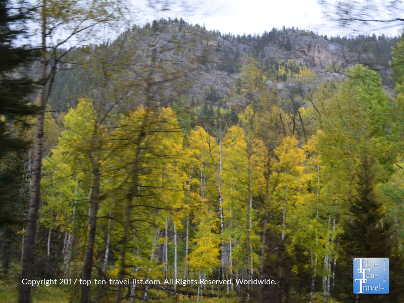 Beautiful golden aspens in the San Juan National Forest