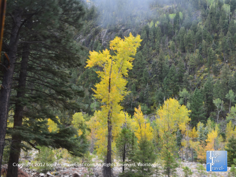 Pretty golden fall foliage in the San Juan National Forest