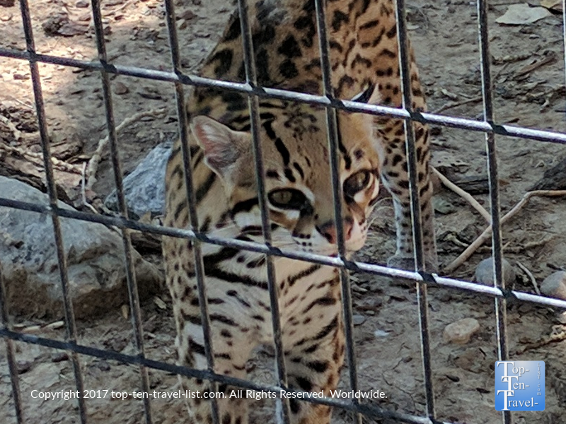 Ocelot at Alameda Park Zoo - the oldest in the Southwest