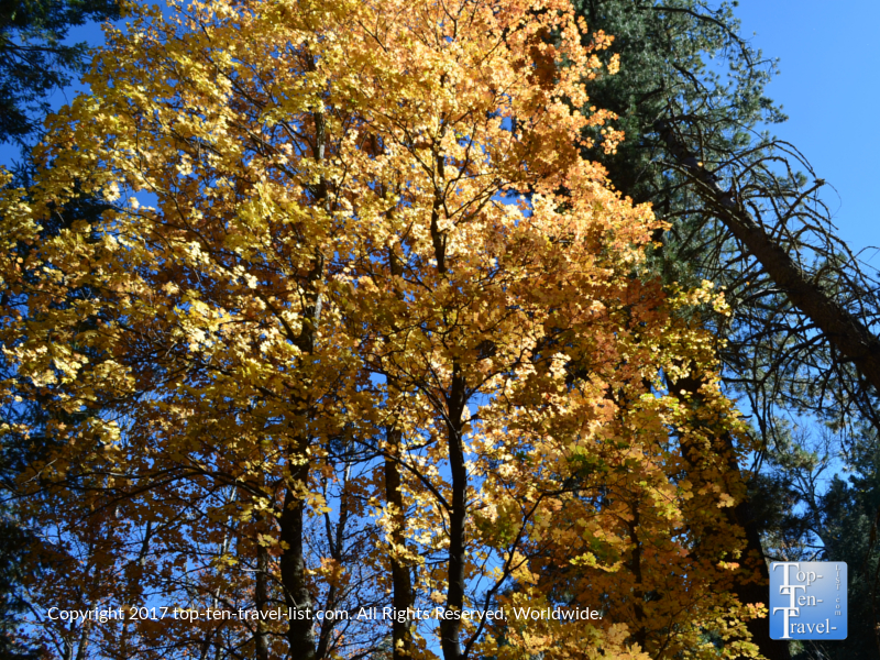 Yellow fall foliage at Mount Lemmon