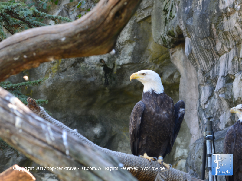 Bald eagle at the Roger Williams Park Zoo in Providence, Rhode Island