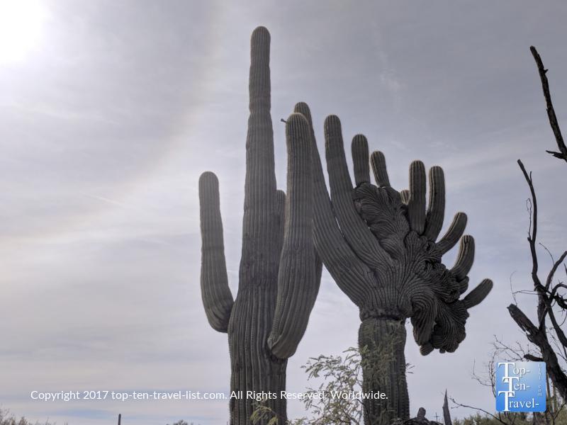 Beautiful Saguaro cacti at Sabino Canyon in Tucson, Arizona