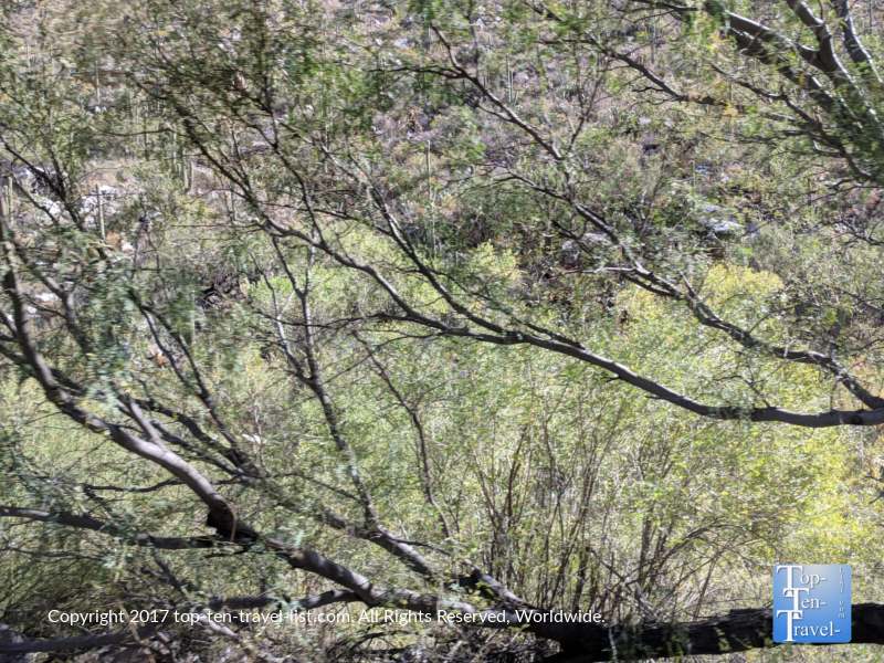 Mesquite trees at Sabino Canyon in Tucson, Arizona