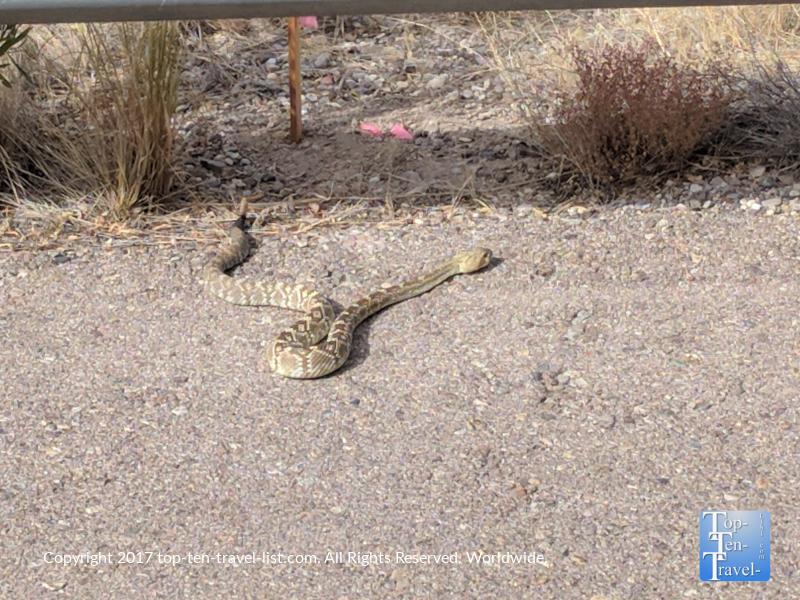 Western diamondback rattlesnake at Sabino Canyon in Tucson, Arizona