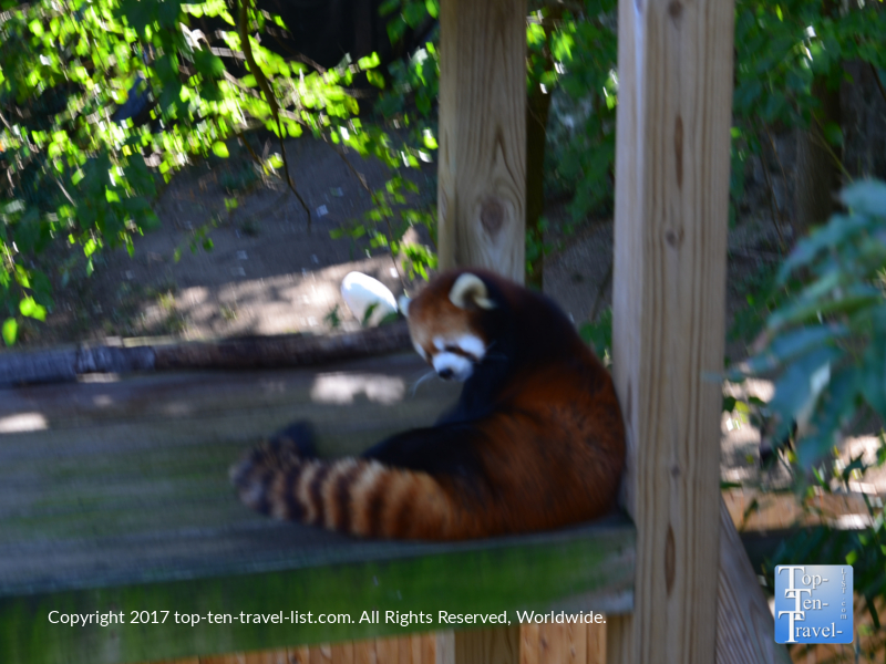 Red panda at the Roger Williams Park Zoo in Providence, RI