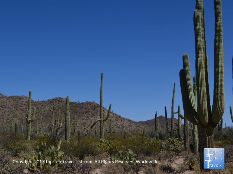 Beautiful Saguaro cacti at Saguaro National Park in Tucson