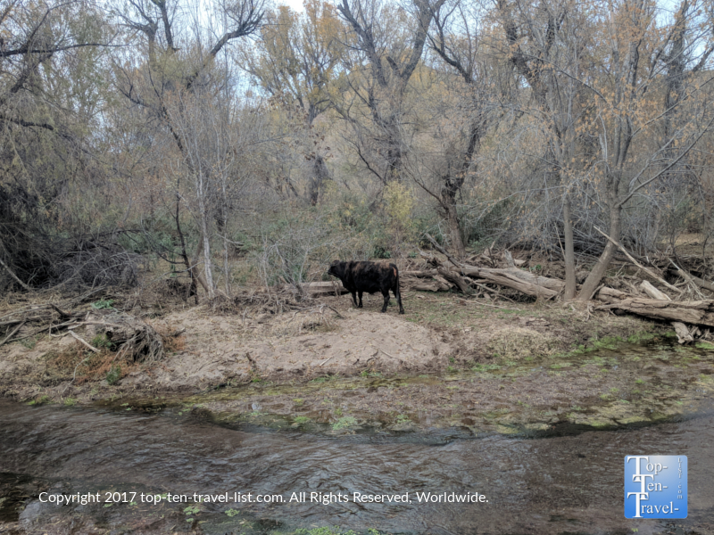 Cow crossing the creek along the Patagonia Lake Trail in Southern Arizona