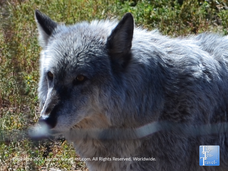 Beautiful wolf at the Rocky Mountain Wildlife Park in Pagosa Springs, Colorado