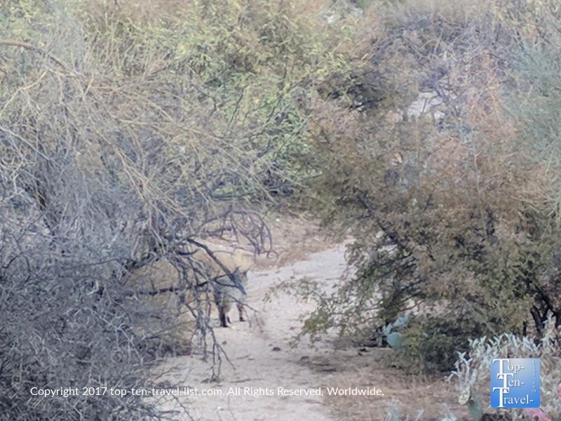 Bobcat sighting along the Linda Vista trail in Tucson, Arizona