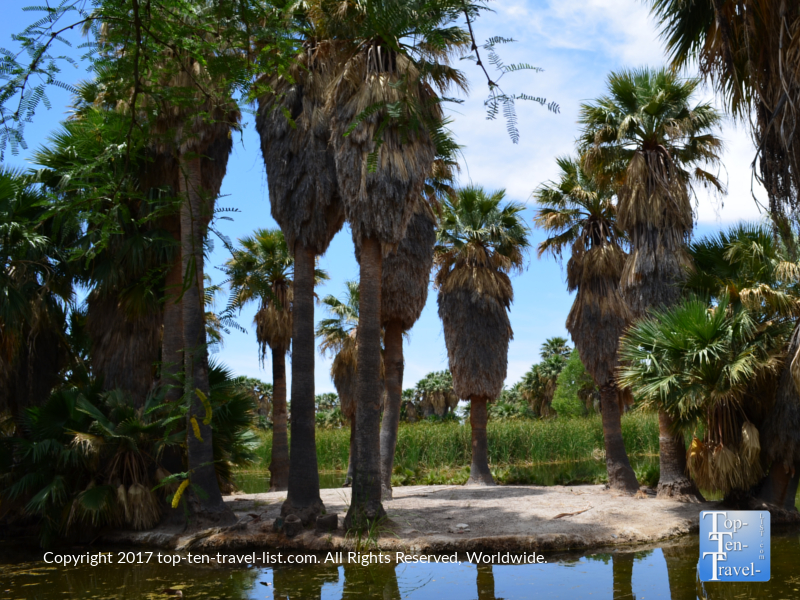 Palm trees and natural springs at Aqua Caliente Park in Tucson, Arizona