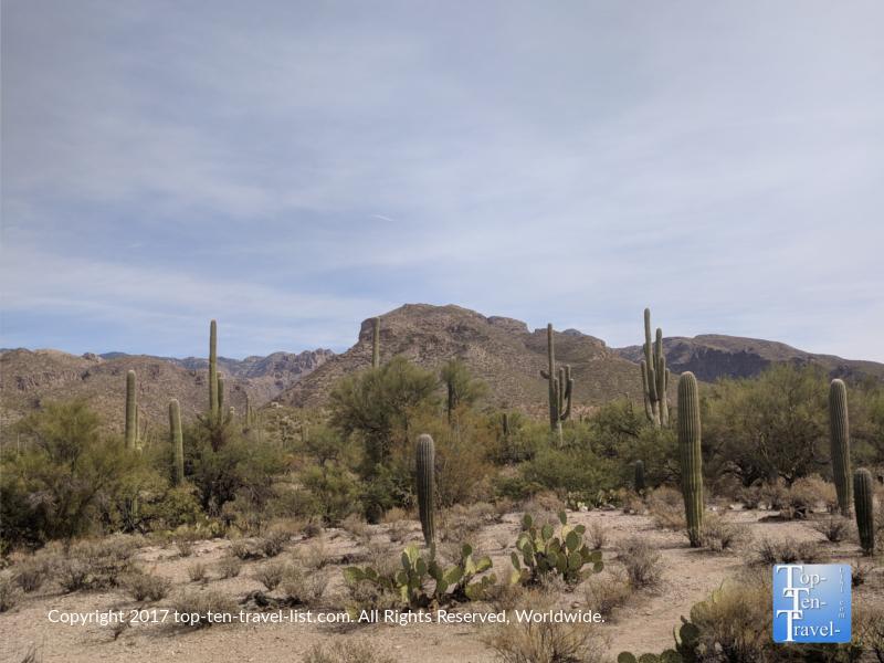 Diverse cacti species along the nature trail at Sabino Canyon in Tucson, Arizona